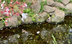 桜の季節はもう終わり?春本番の下北沢を散歩しよう
