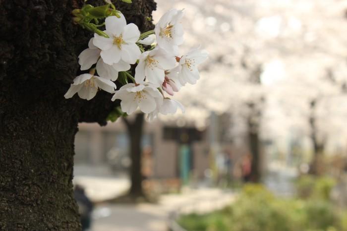 今年は早めに 桜が見られる賃貸物件をまとめました