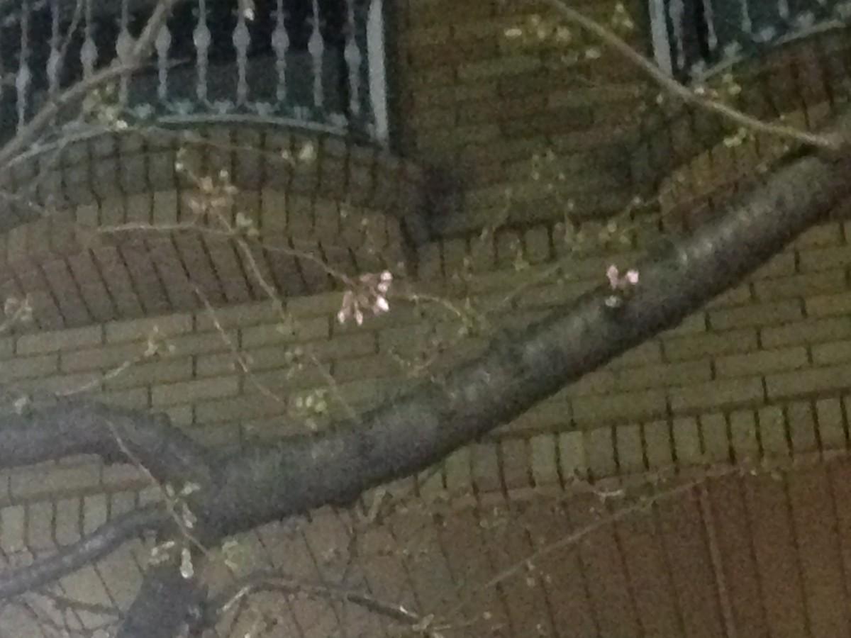 桜が咲いていました @下北沢 2016年3月20日