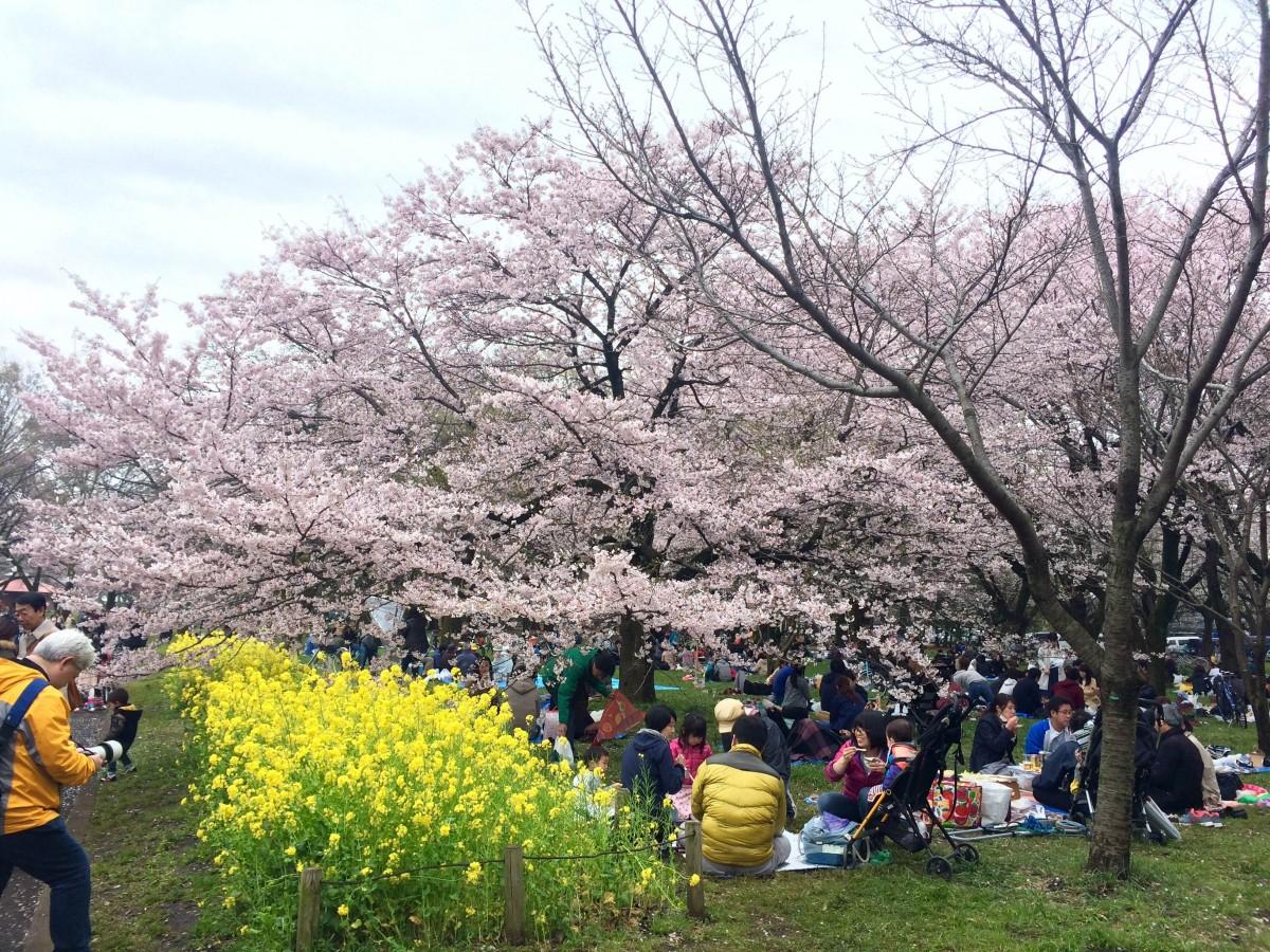 【2016年】桜と犬