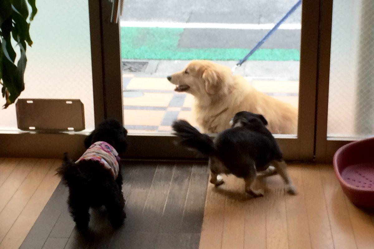こてちゃん VS 20キロ越えのミックス犬