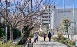 春はもうすぐ!下北沢の桜速報(3/15)