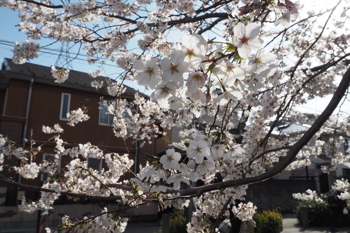 下北沢でお花見なら緑道へ!!