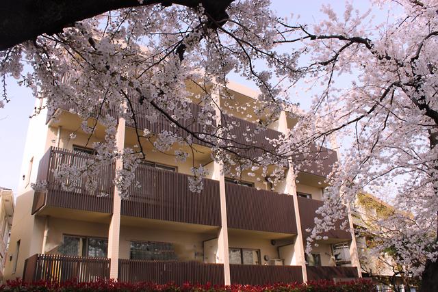 北沢緑道の桜-(92)