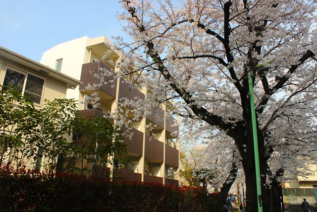 北沢緑道の桜-(115)