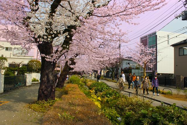 北沢緑道の桜-(9)