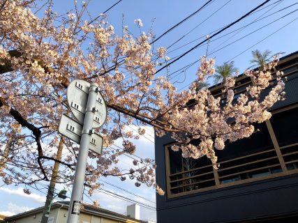 むくちゃんのお散歩集🌸北沢緑道の桜も見てきました